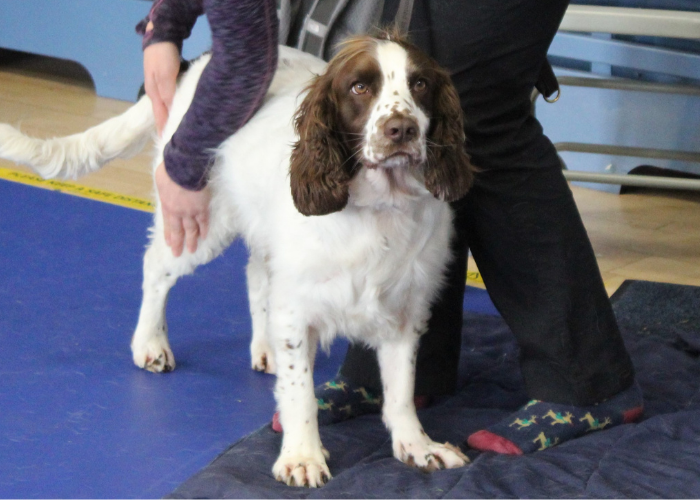 Tess the Canicross dog at the canine massage workshop for Sprots dogs in Essex with Born to Run