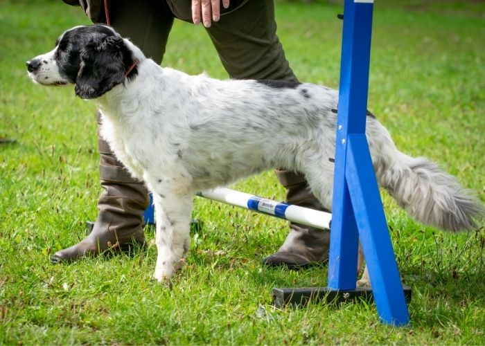 Molly the working spaniel at the born to run intermediate class