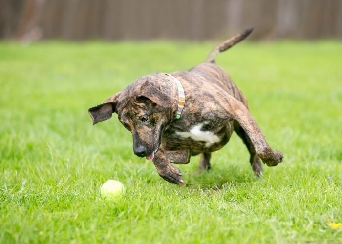 Avoid pain in dogs by stopping ball chasing