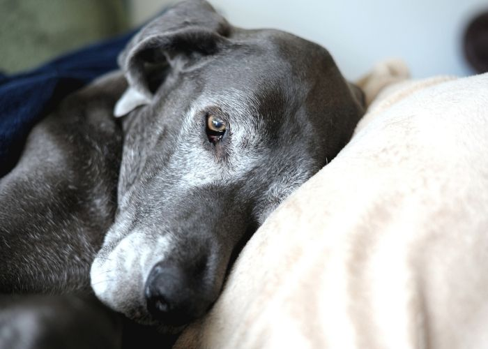 A Simple Guide to Understanding Pain in Dogs: The Links Between Pain And Activity.